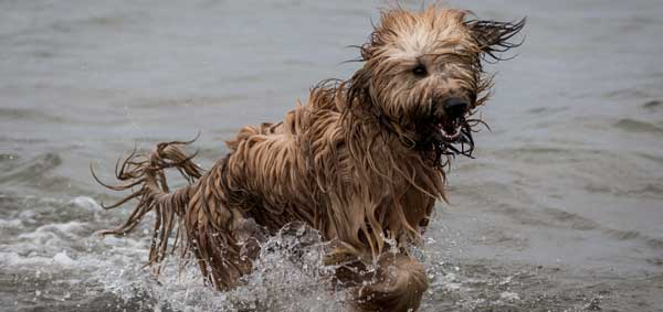 Wet dog coming out of the water