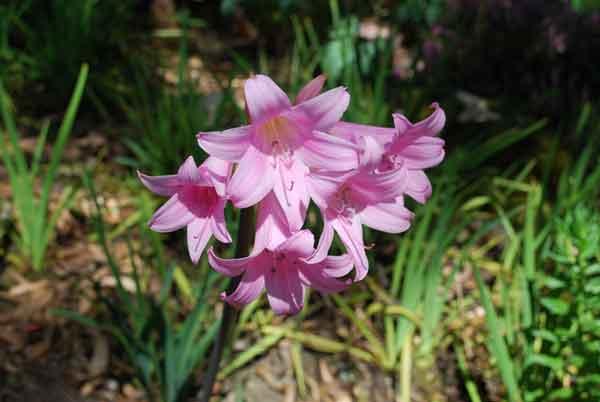 pink Belladonna lilies