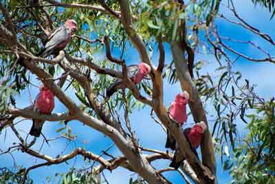 galahs perched on branches in a gum tree