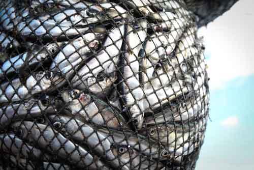 Fish in a net